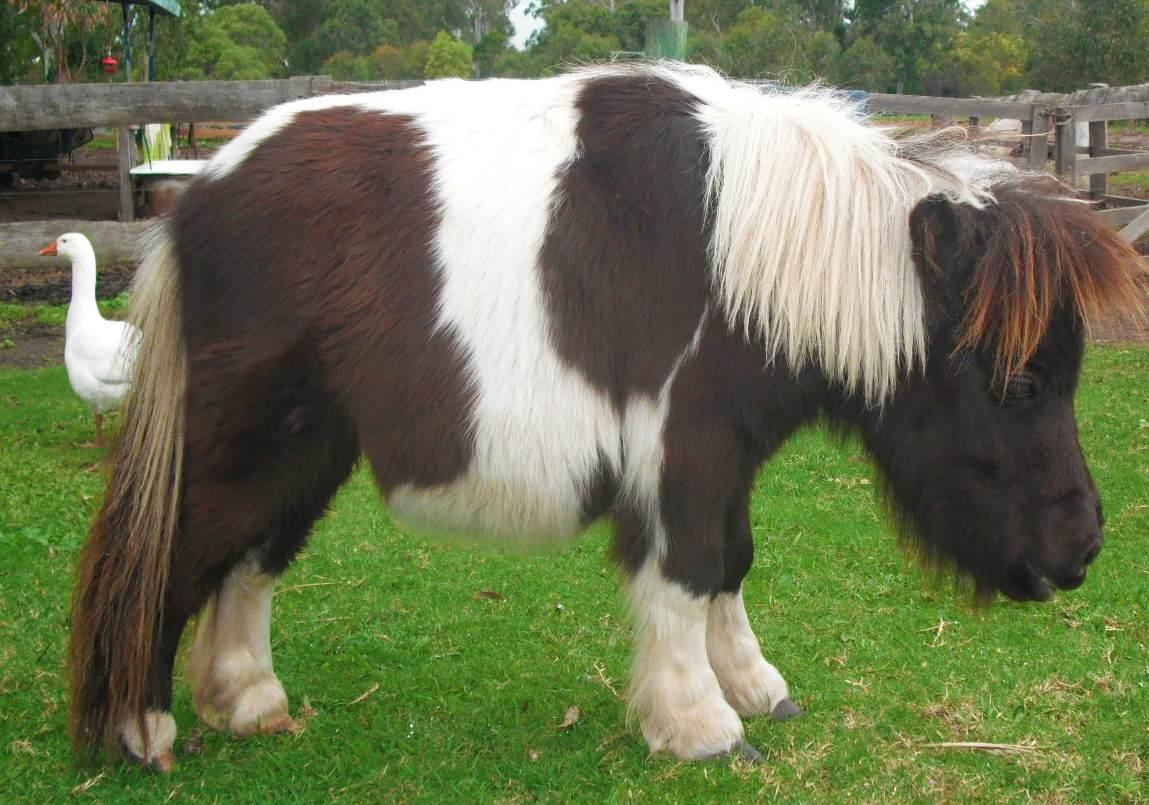 fluffy horses - photo #37